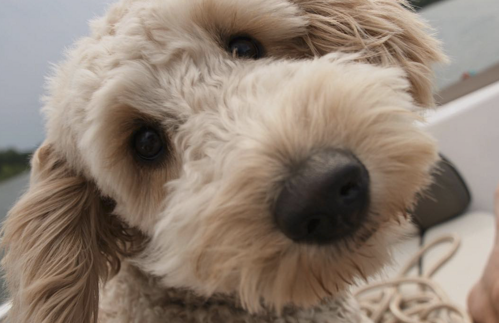 3 Ways To Care For Your Crazy But Loveable Goldendoodle