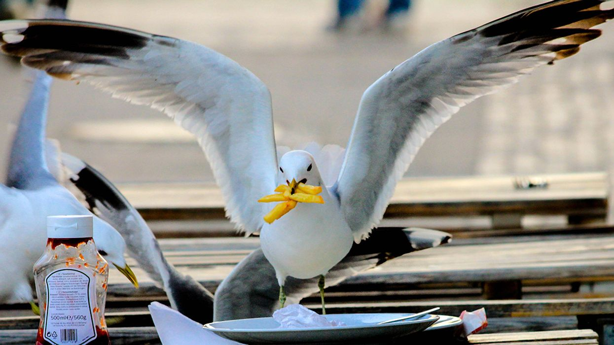 Stare Down a Gull to Protect Your Food, Science Says