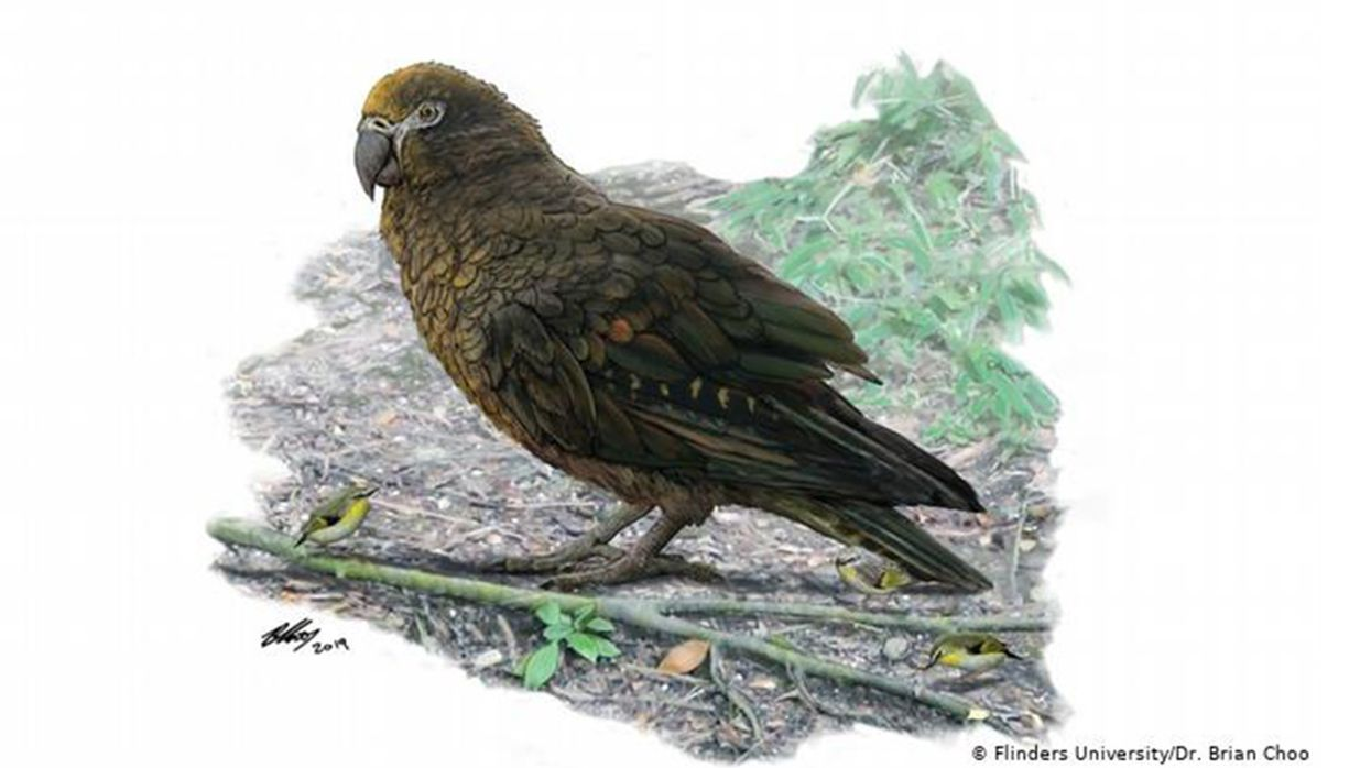 Giant, Possibly Carnivorous Parrot Fossils Discovered in New Zealand