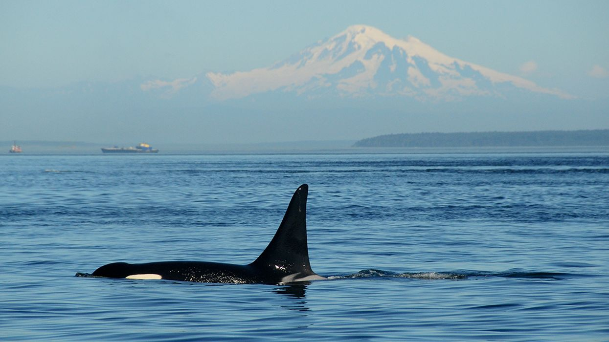 3 Southern Resident Orcas Missing, Presumed Dead