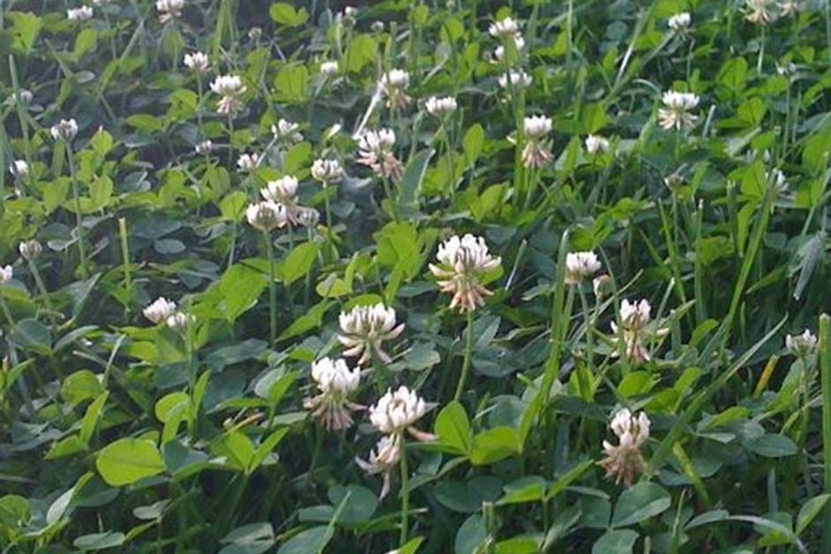 11 reasons why clover makes a much better lawn than grass