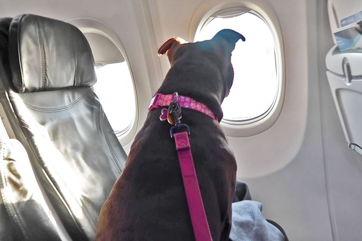 The Department of Transportation says Delta has to let pit bulls fly