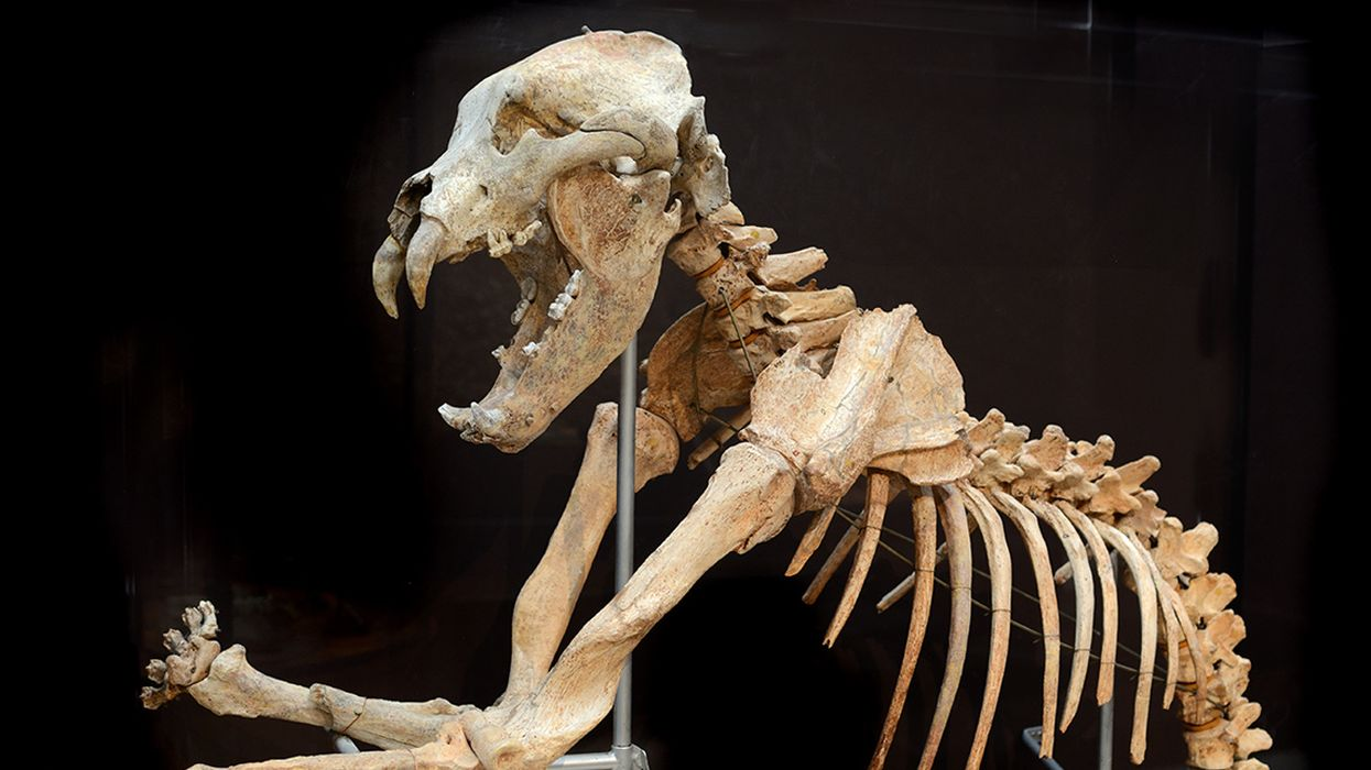 Did Early Humans Doom the Cave Bear?
