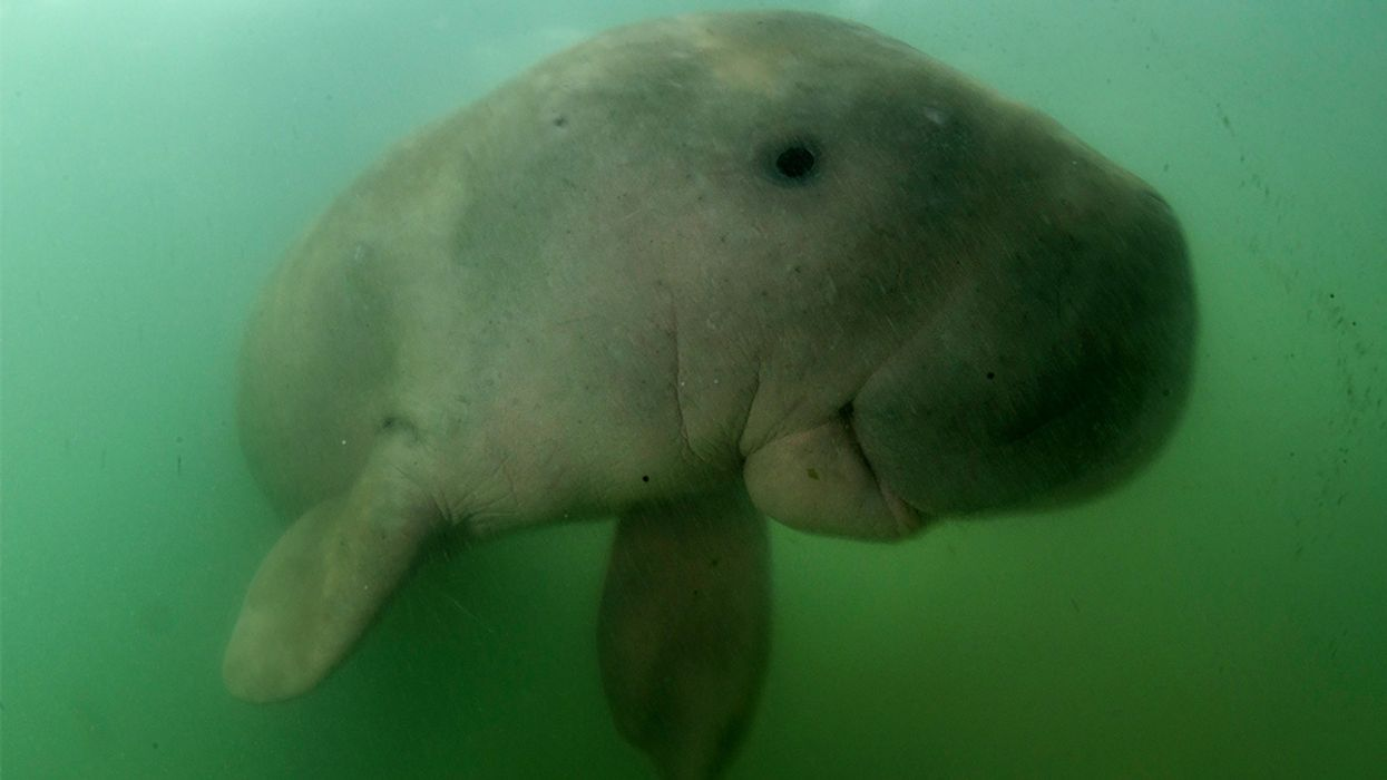 Marium, Thailand's Beloved Baby Dugong, Is the Latest Victim of Plastic Pollution
