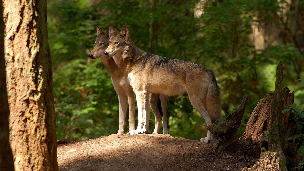 Washington State Kills Last Four of a Wolf Pack Hours Before Court-Ordered Reprieve