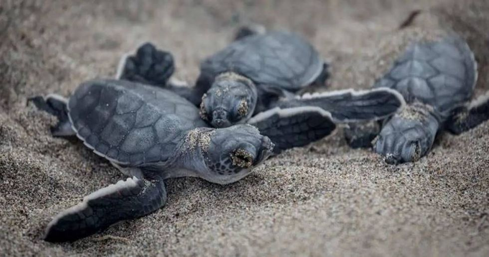 Endangered sea turtles are laying eggs at record pace along Georgia coast.