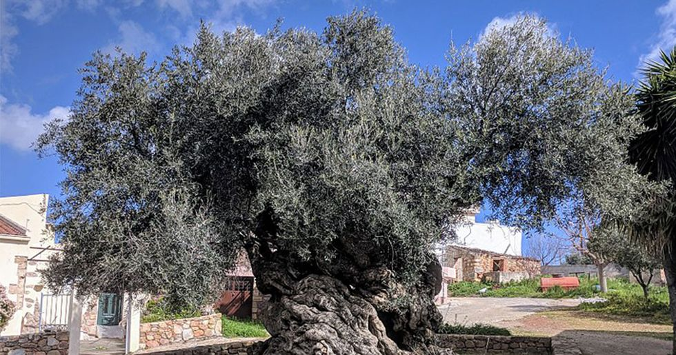 Historic 3,000-year-old olive tree still producing olives to this day