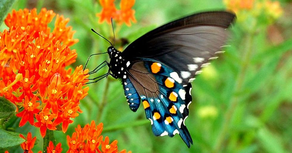Biologist repopulated rare butterfly species in his backyard all by himself