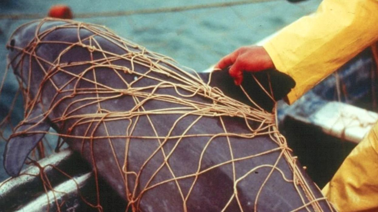 Just 'Days' Left to Save 6 to 19 Remaining Vaquitas