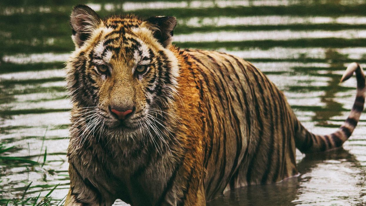 Tigers are making a massive comeback in India — up 33% in four years