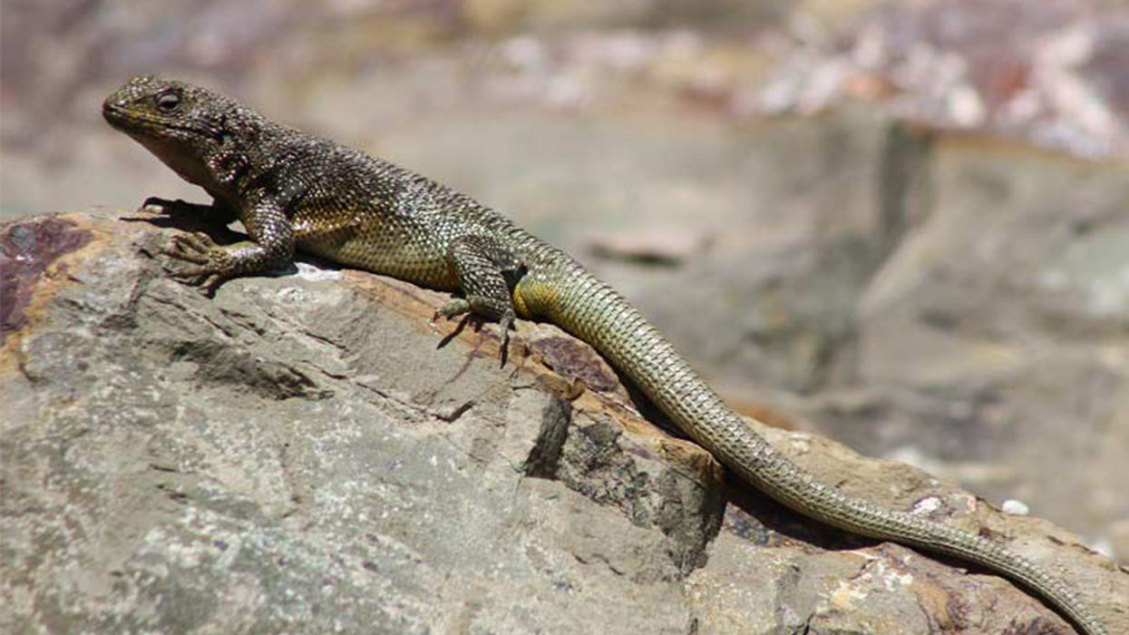 Cold-Climate Lizards May Face Extinction in 60 Years, Study Says