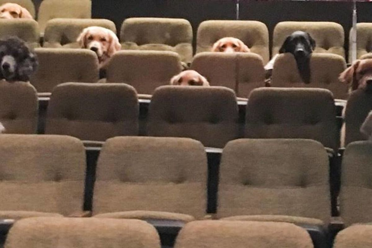 Service dogs enjoy a performance of 'Billy Elliot' to learn how to behave in a theater