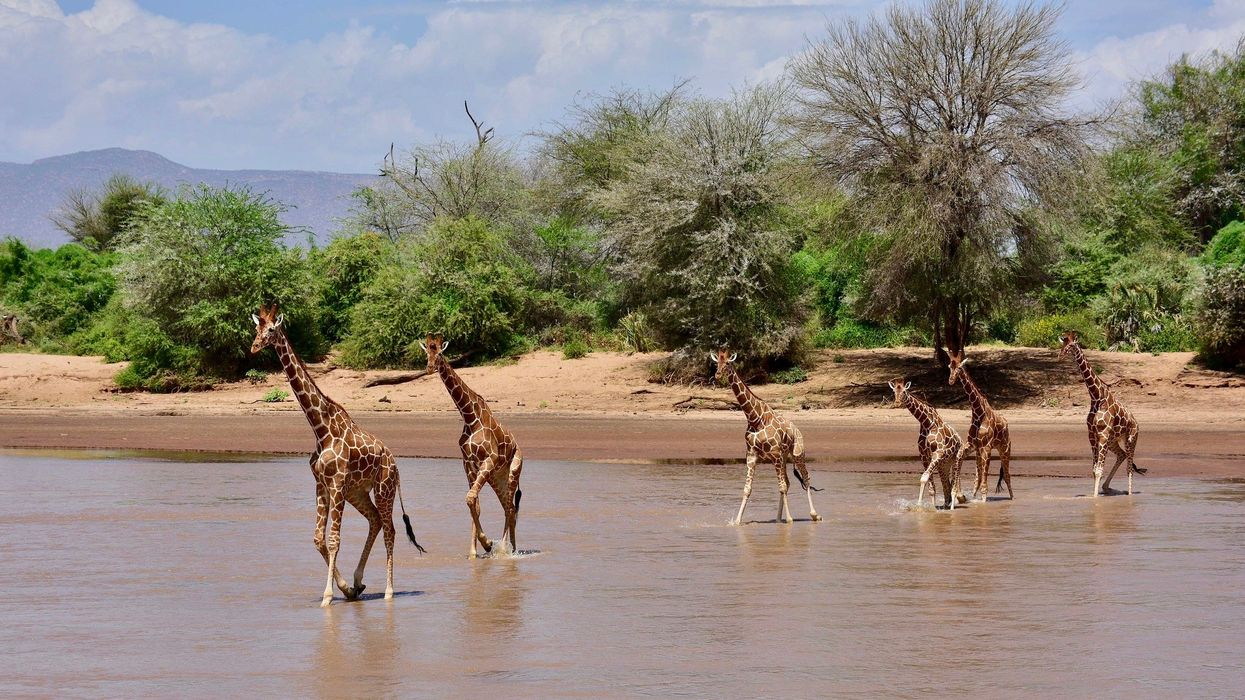 Giraffes Win International Protections to Limit Their Trade