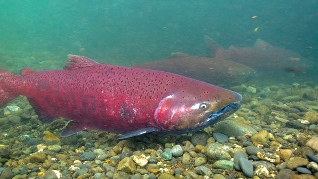 Hidden Trump Report Reveals Water Plan Will Harm Endangered Whales and Salmon