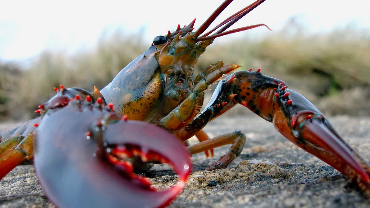 Could the Climate Crisis Spell the End for Maine Lobster?