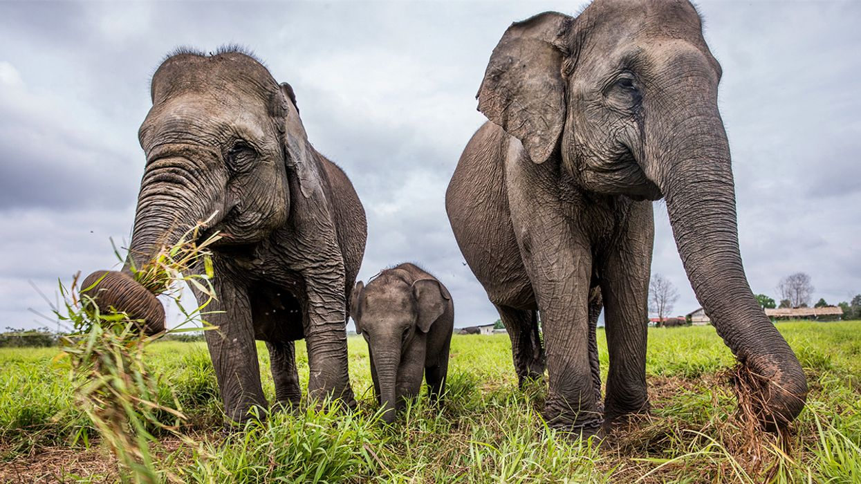 Elephant Sanctuary in Sumatra Threatened by Bridge and Port Projects