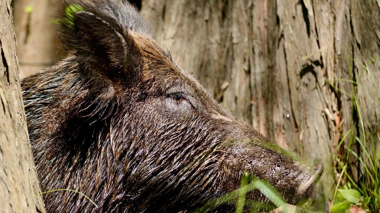 Feral Pigs Harm Wildlife and Biodiversity as Well as Crops