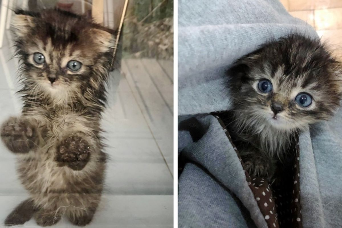 Kitten Who is Mostly Fluff, Finally Starts to Grow After She Left Street Life Behind