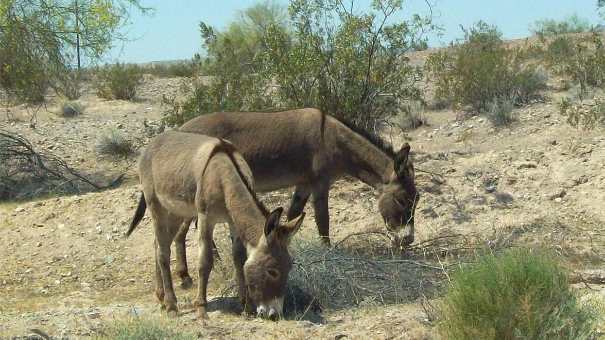 42 Wild Burros Found Shot Dead in Mojave Desert, $58,000 Offered to Identify the Killer