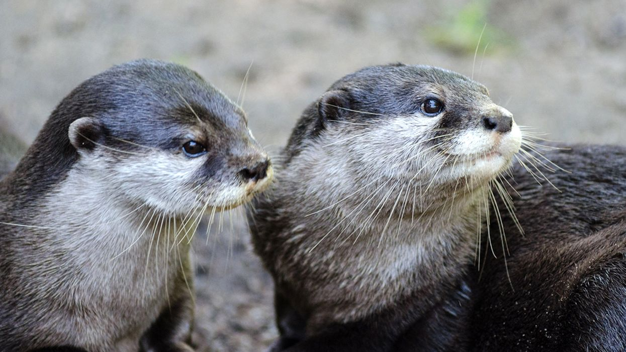 Asian Otters: Out of the Water and Into … a Café?