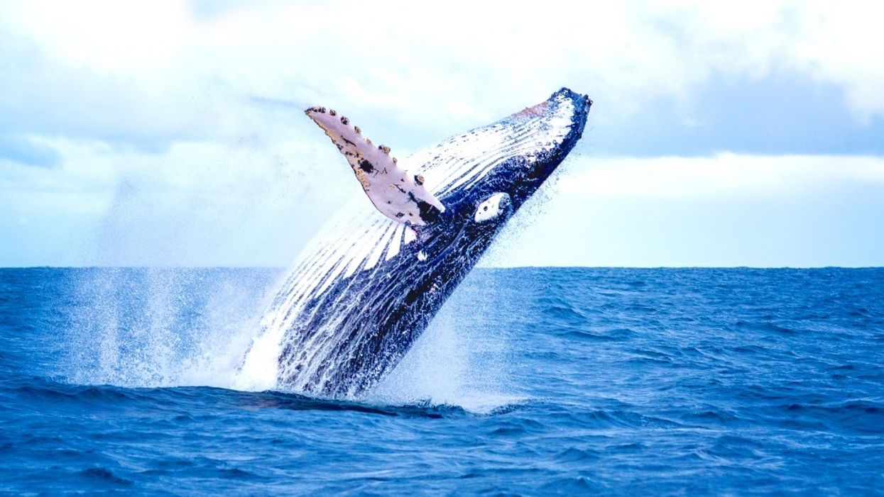 Whales songs indicate where they've been — where they were born