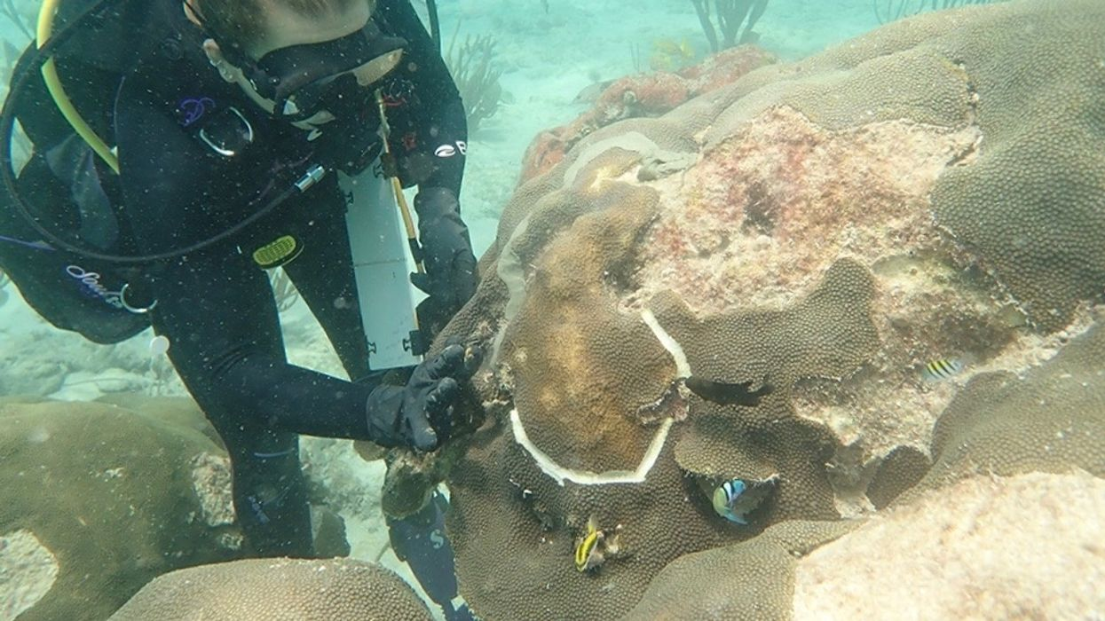 Scientists Race to Stop 'Ebola' of Coral Diseases From Spreading in U.S. Virgin Islands