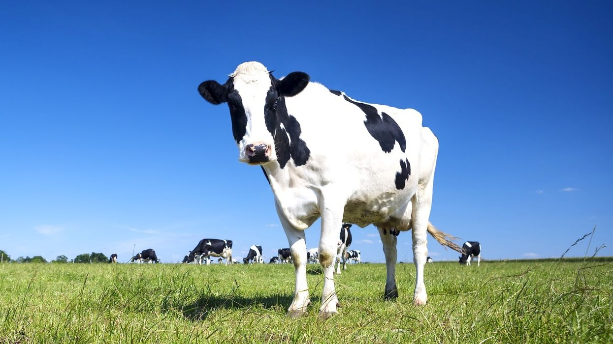 Serious problem found with gene-edited celebrity cows