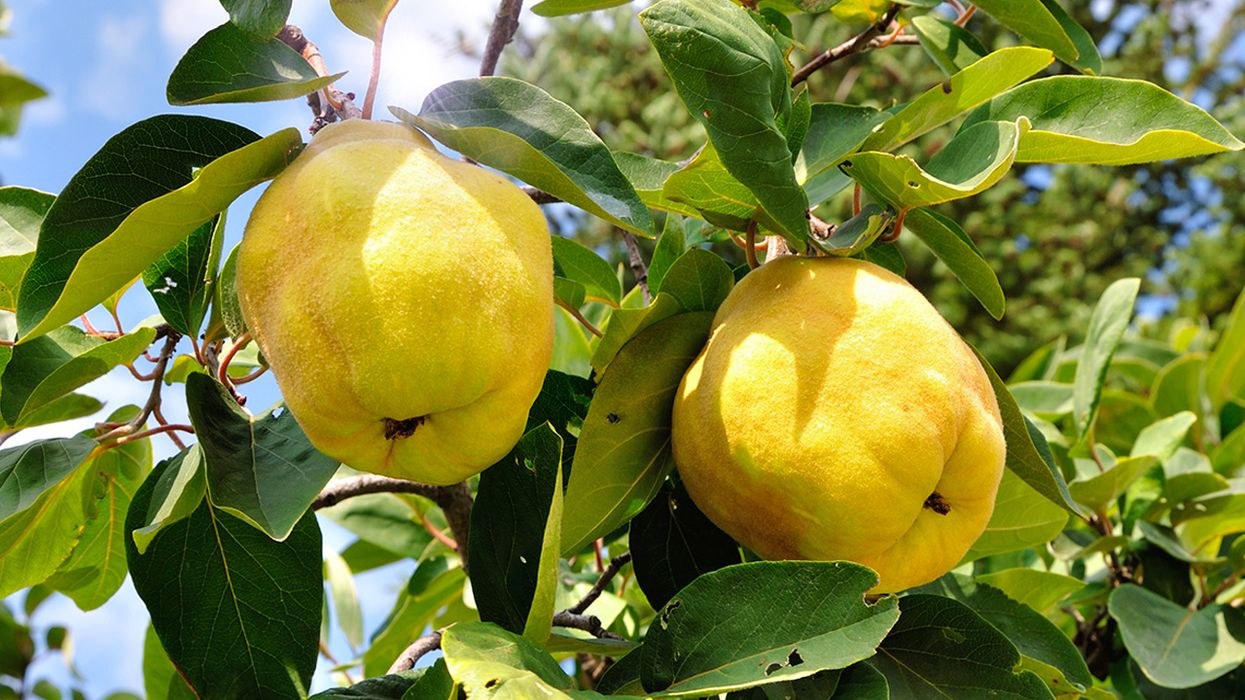 8 Emerging Health Benefits of Quince (And How to Eat It)