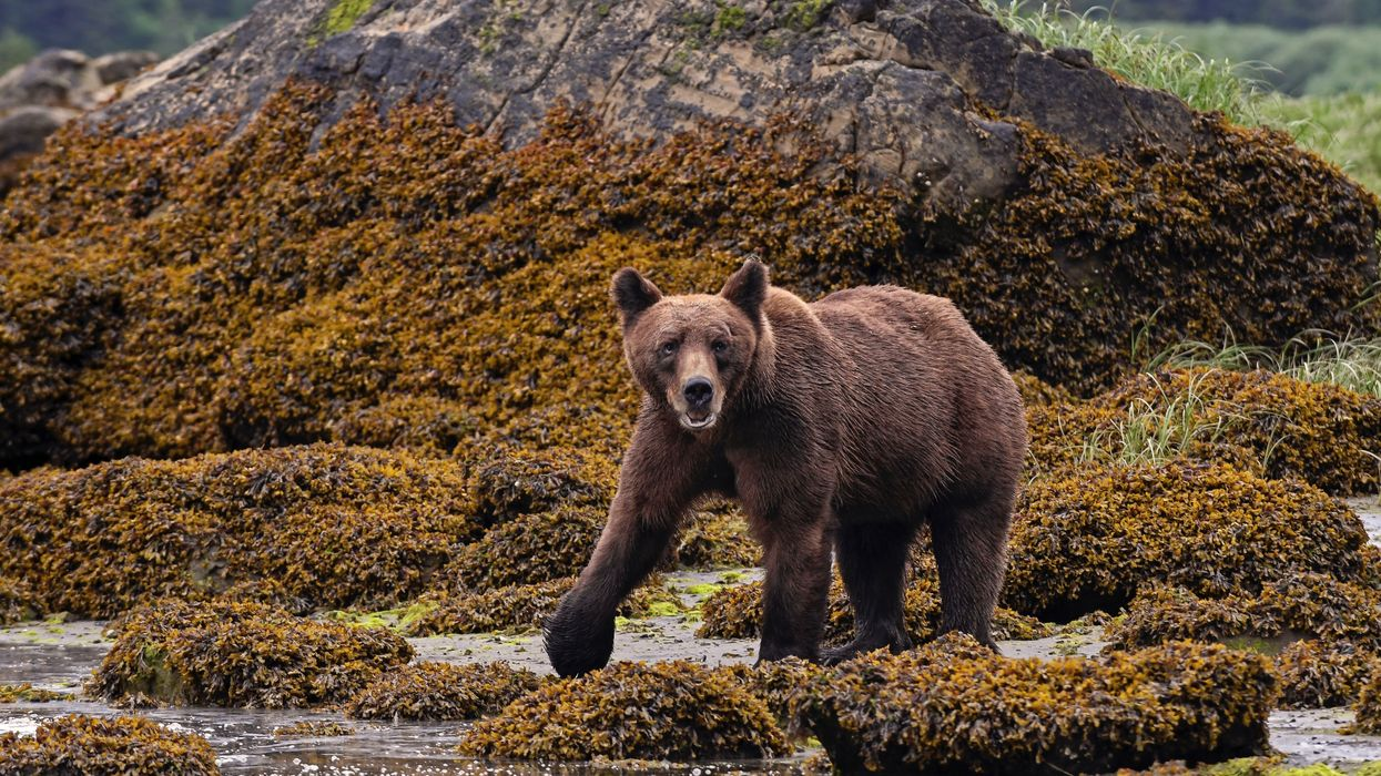 Canada's Starving Grizzlies Mean Low Salmon Stock