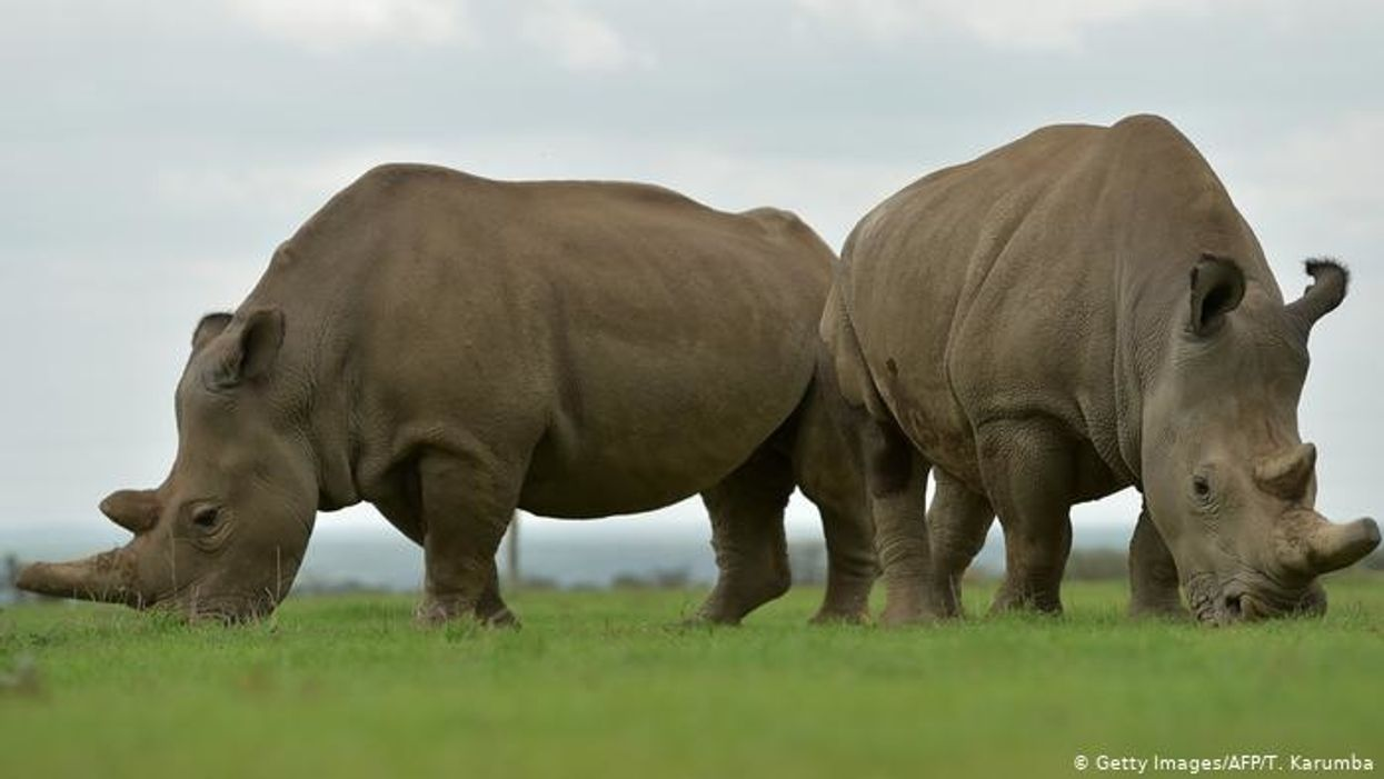 'Hopeful' Scientists Create Nearly Extinct Northern White Rhino Embryo