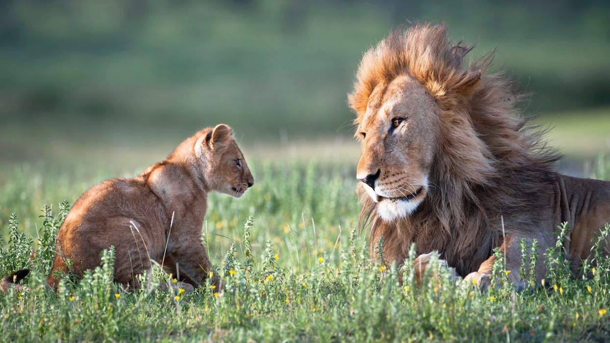 Trump Admin Grants First Lion Trophy Import Permit Since Listed as Threatened
