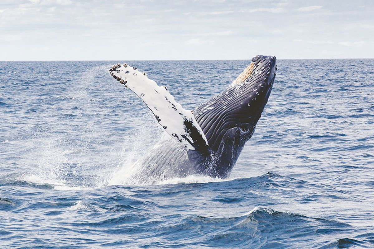 Whales' migration patterns can be tracked by their songs, researchers claim
