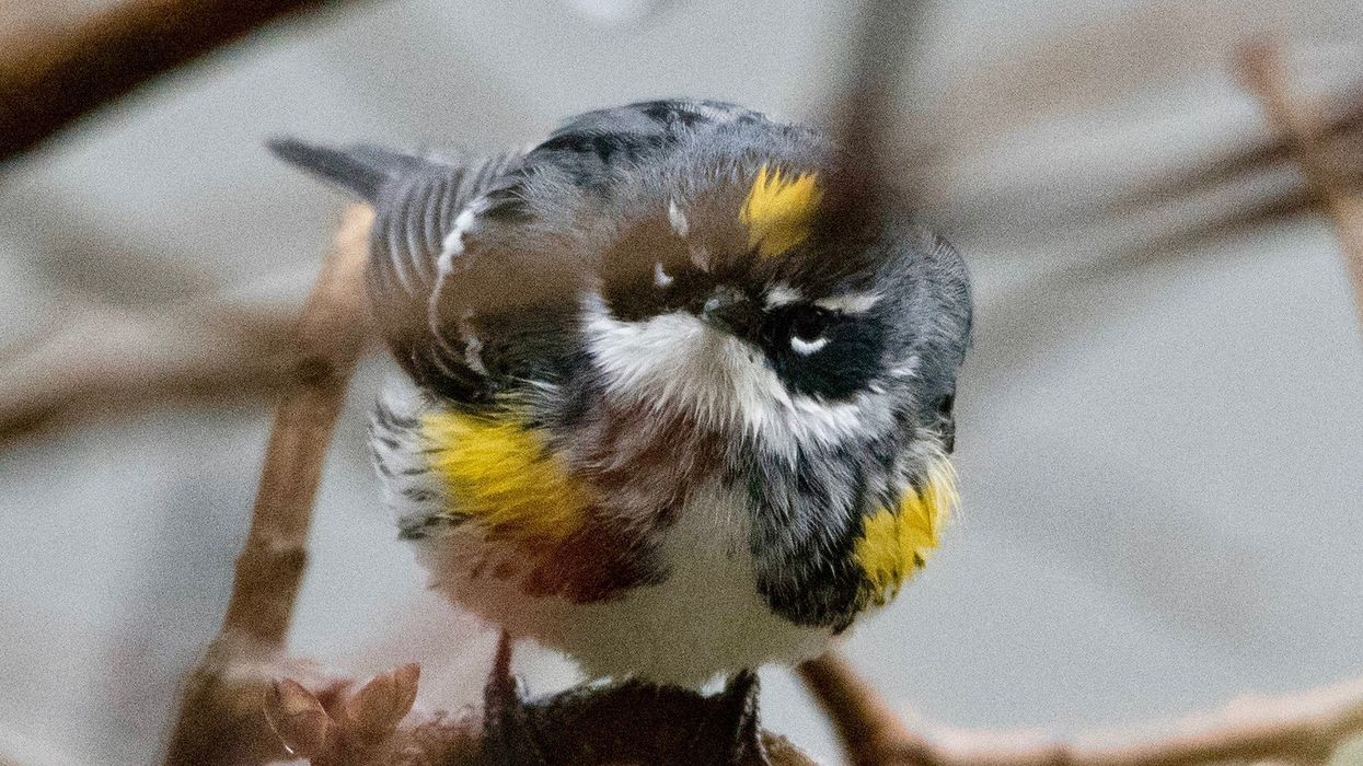 Birds Populations Are Rapidly Declining in North America