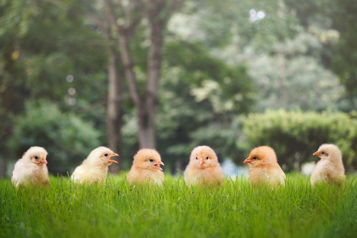 L'impero del pollo bio è nato in un cortile grazie a un meccanico e a 50 pulcini liberi