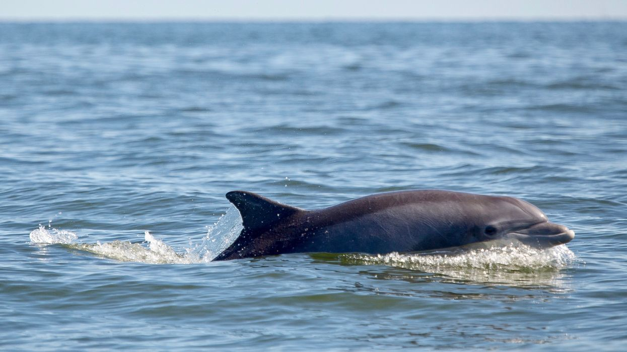 In a Sign of Cleanup Success, Dolphins Are Living and Giving Birth in the Potomac