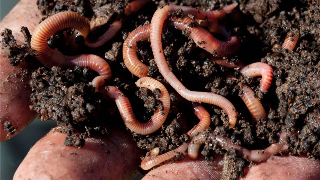 Hand holding earthworms in soil