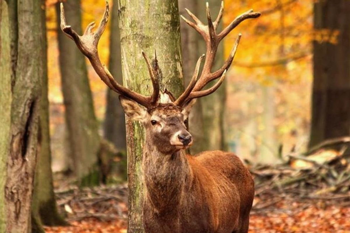 Hunter dies after being gored by a deer that he shot