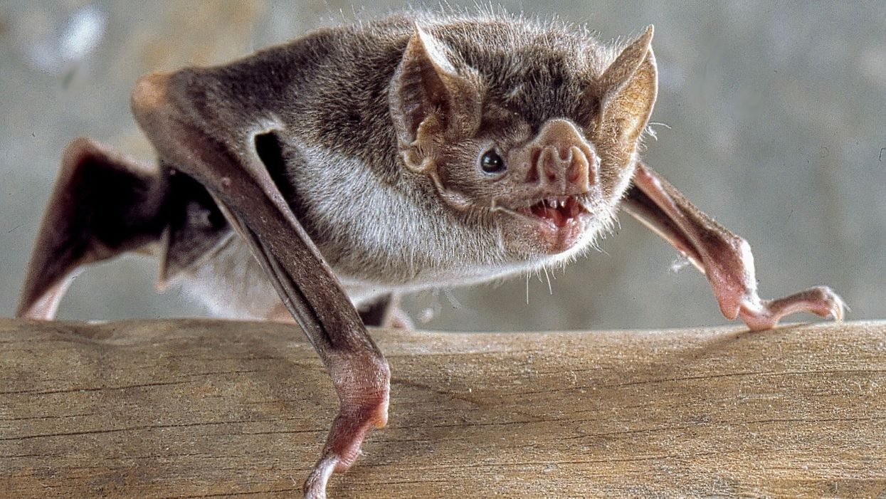 Vampire Bats Could Expand Their Range into U.S. as Climate Warms