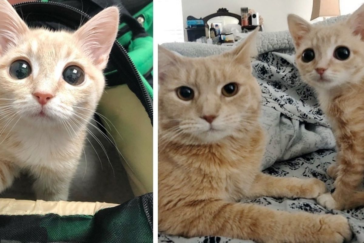 Woman Brings Home Kittens to Foster, Her Cat Takes the Runt Under Her Wing