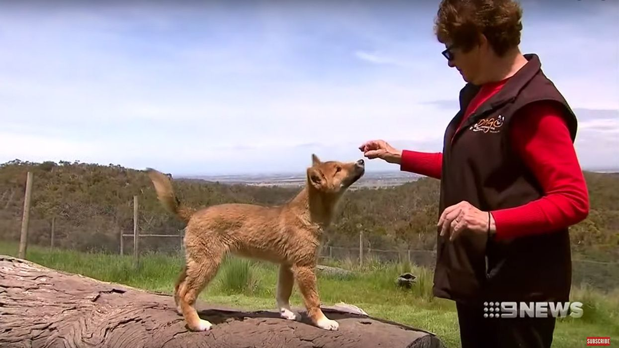 Stray Australian Puppy Found to Be 100 Percent Endangered Dingo