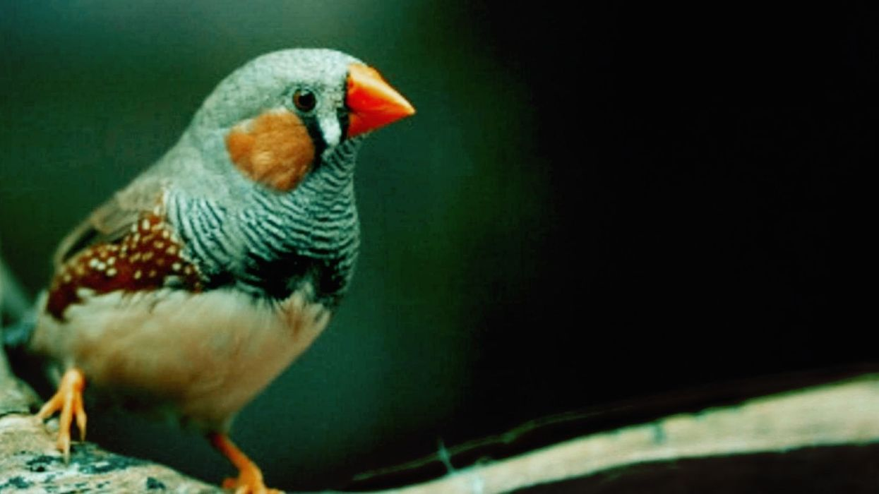 Scientists teach birds new songs by implanting them with false memories