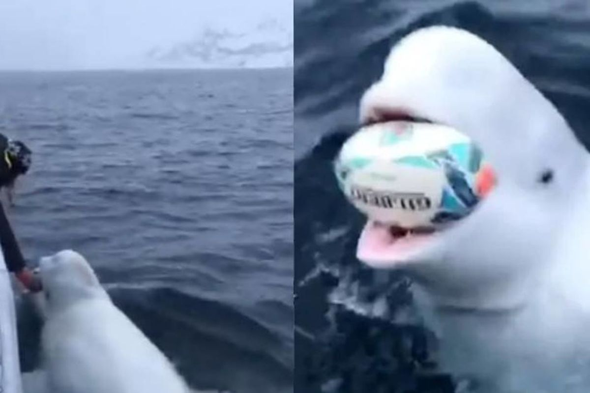 Amazing footage shows a beluga whale playing 'fetch' with marine researchers