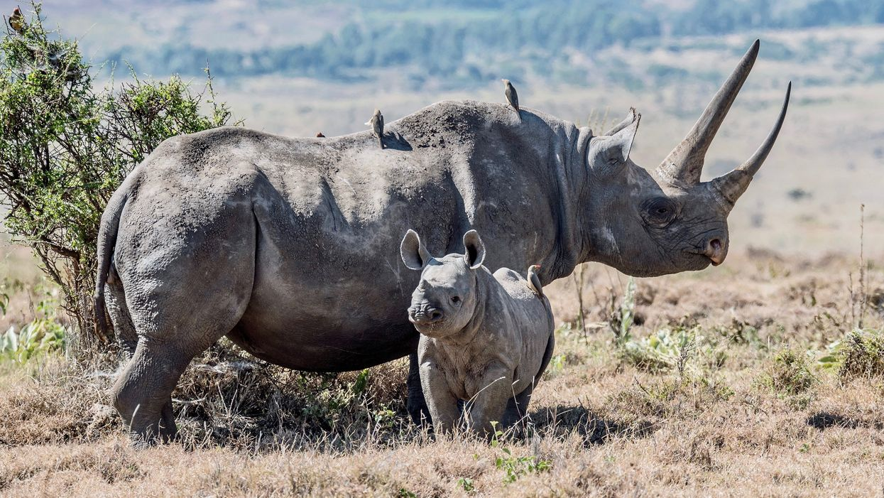 Scientists Create Fake Rhino Horn to Fight Poaching