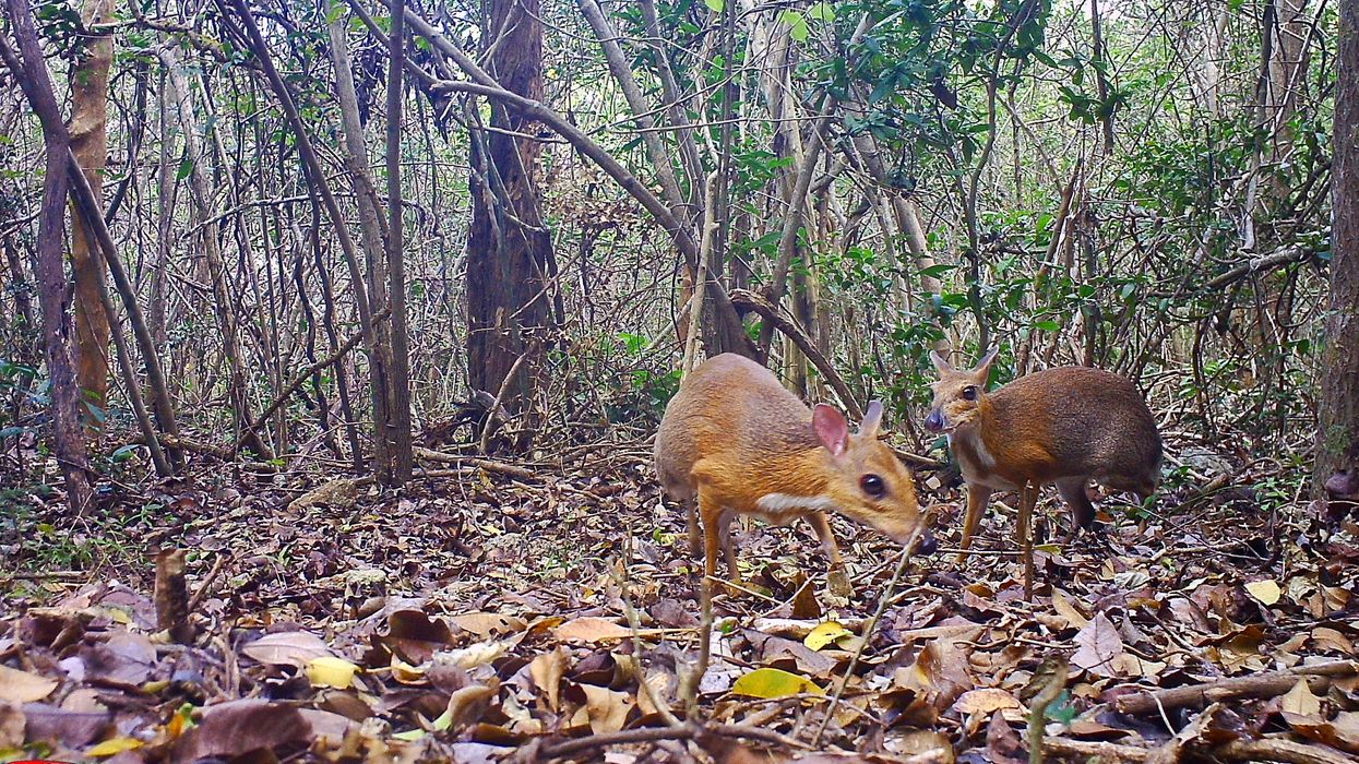One of '25 Most Wanted' Species Rediscovered in Remote Vietnam