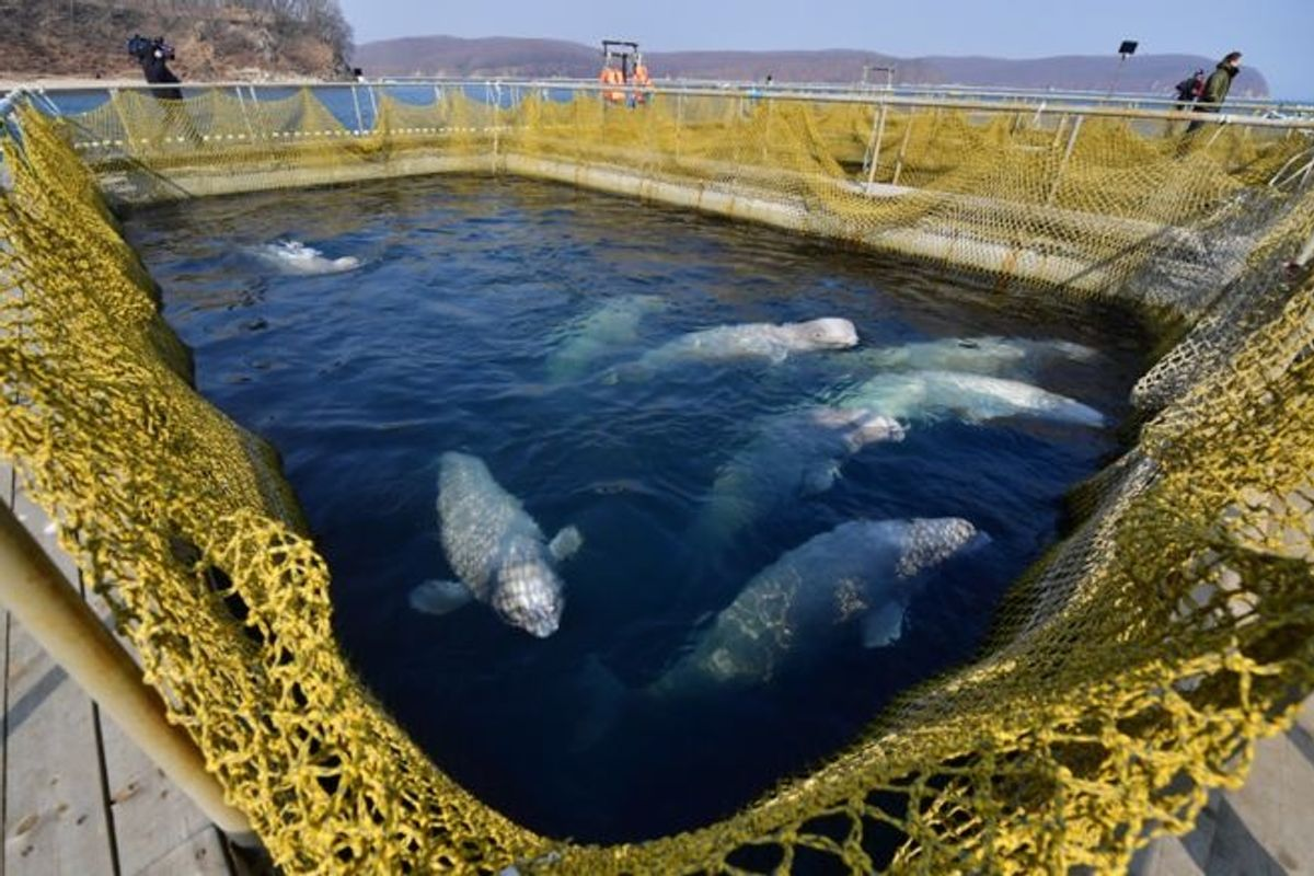 All the whales have finally been released from the 'whale jail' in Russia