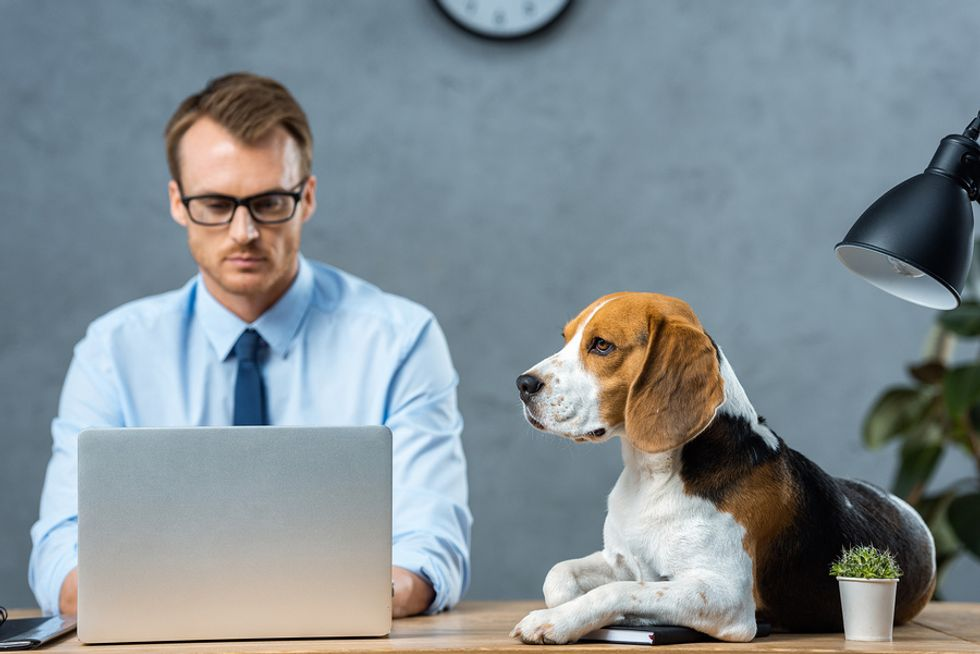 Business man working on his computer at work while his dog sits patiently on his desk.