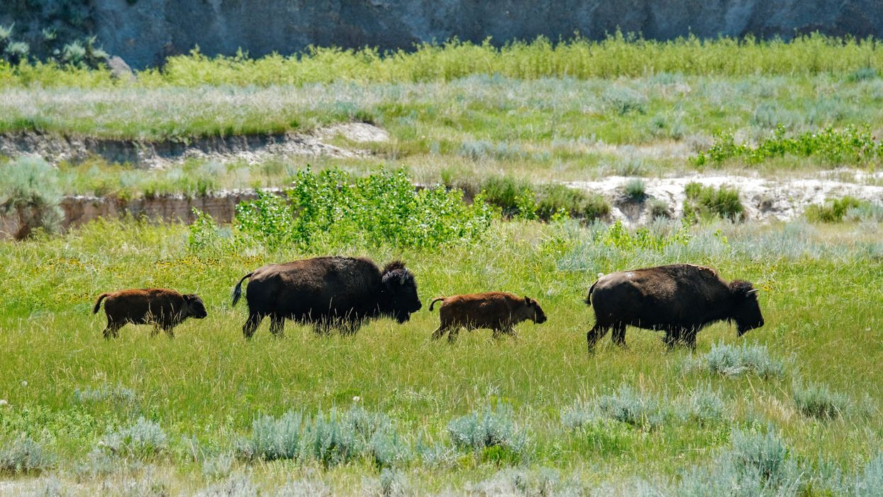 The Return of a Relative: Tribal Communities in the Northern Great Plains Rally Around Bison Restoration
