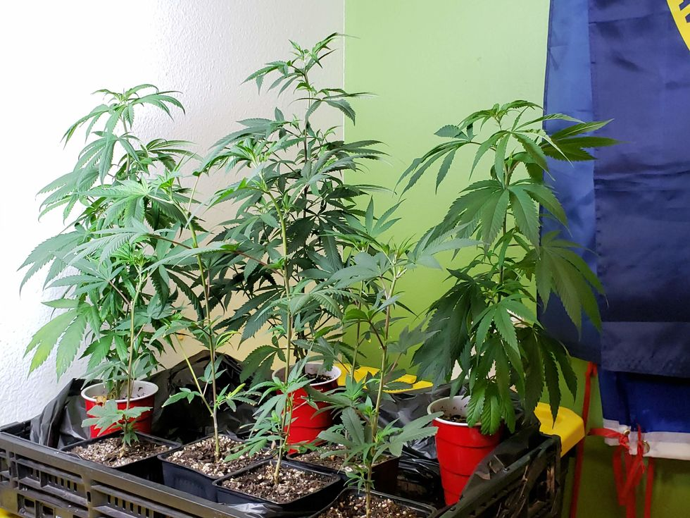 Eight small cannabis clones in front of a painted wall