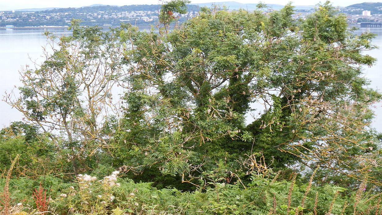 Genetic Resistance to Devastating Ash Tree Disease Discovered – and It Could Help Save the Species