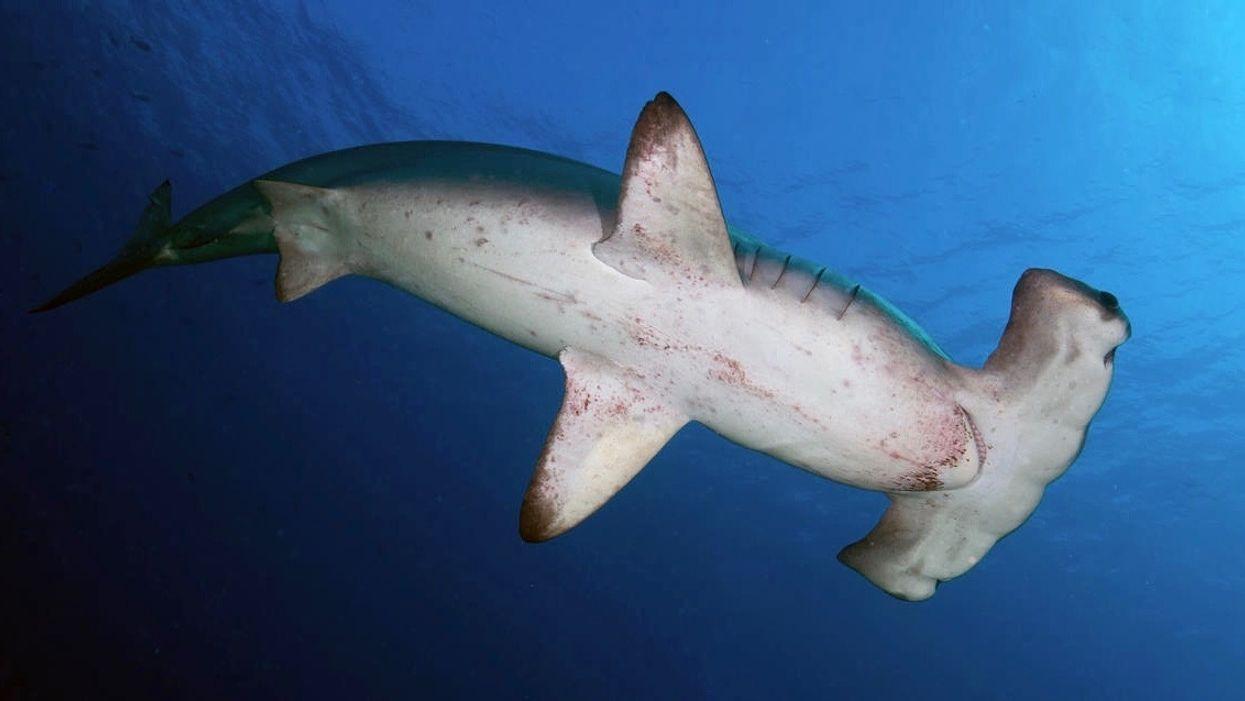 The Surprise Middleman In The Illegal Shark Fin Trade The U S Ecowatch